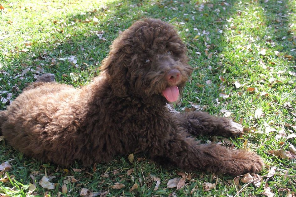 pet portrait Pet Pet Portrait Dog Dogs Puppy Outdoors Grass Animals Animal Animal Themes Animal Photography Lagotto Romagnolo LaGottoRomagnolo Brown Furry Furry Friends Showcase June