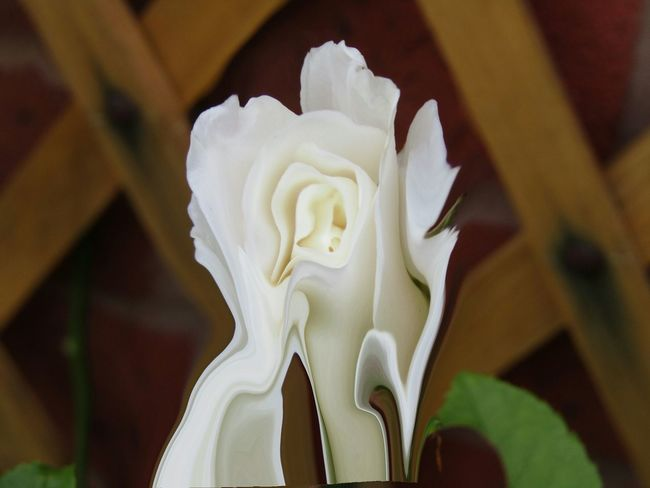 Melting White Rose Working In My Garden Nature On Your Doorstep Nature Abstract Art Edit Junkie