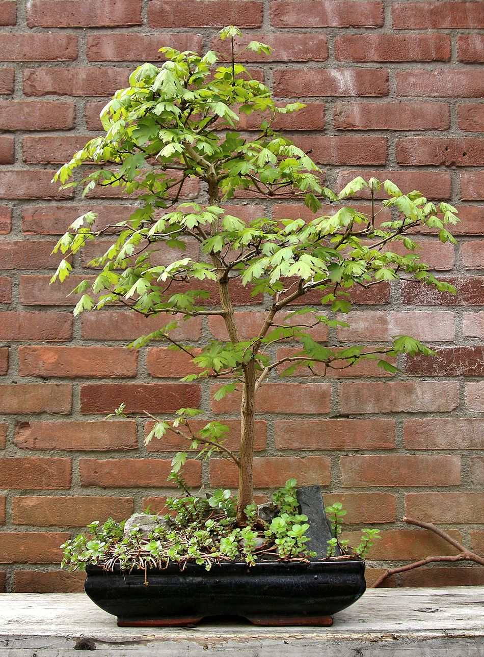Acer Campastre bonsai Plant Growth Wall - Building Feature Growing No People Ivy Brick Wall Green Color Outdoors Day Nature Leaf Architecture Fragility Close-up Window Box Bonsai Eyem Best Shots Acer Tree