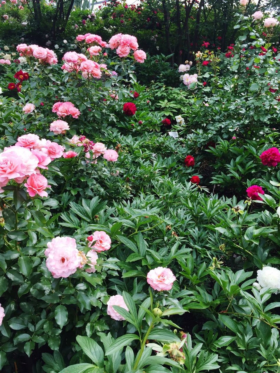 Roses🌹 Rose - Flower Red Rose Pink Rose Flowers Sissi's Palace Spring Into Spring Spring Has Arrived Spring Flowers Springtime Spring Photography Sissi'sGardens Lovely Photoaddict Beautiful Wonderful Pink And Red Green Green Color Green Green Green!  Colorful Beautiful Place