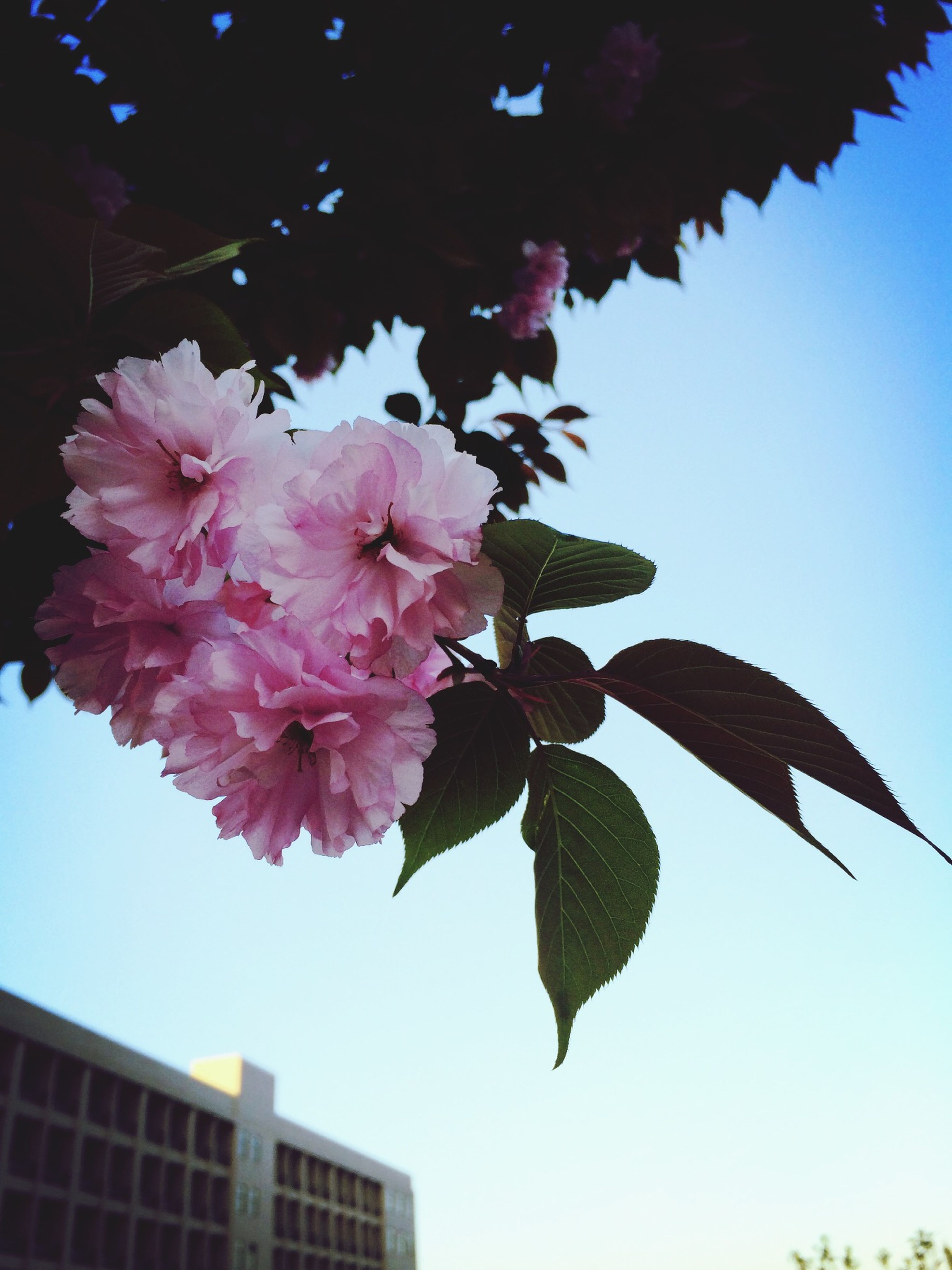 low angle view, flower, growth, freshness, branch, clear sky, fragility, tree, leaf, nature, beauty in nature, blossom, petal, sky, pink color, blooming, in bloom, close-up, day, twig