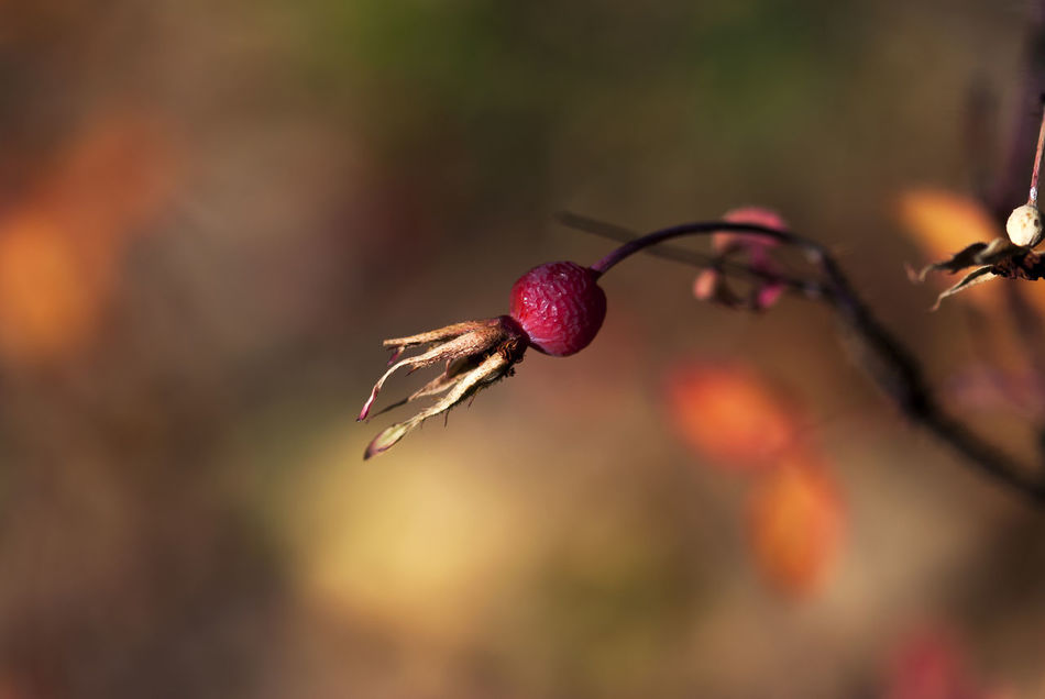 A dried rose hip hangs from a branch in late autumn. Autumn Briar Color Fall Food Fruit Health Herbal Medicinal Nature Orange Organic Plant Red Rose - Flower Rose Hip Rose Hips Rosehip Rosehips Roses Season  Seasonal Vitamin Wild Winter