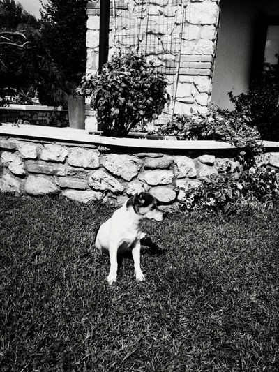 Dogstyle Dog❤ Littledog Looking For Trouble In Search Of Blackandwhite Photography Black&white Hello World Garden Taking Photos
