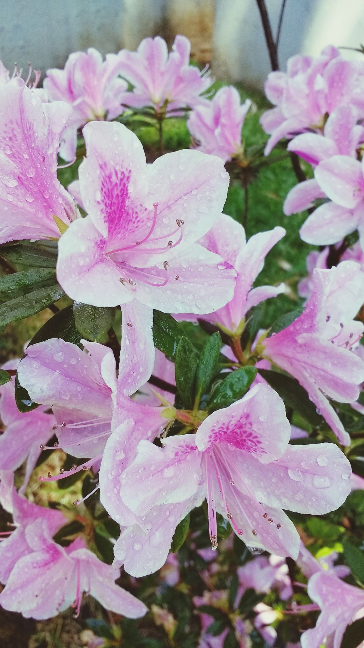 Flower Nature Pink Color Petal Fragility Freshness Flower Head Beauty In Nature Growth Plant Rhododendron Close-up No People Outdoors Day Water