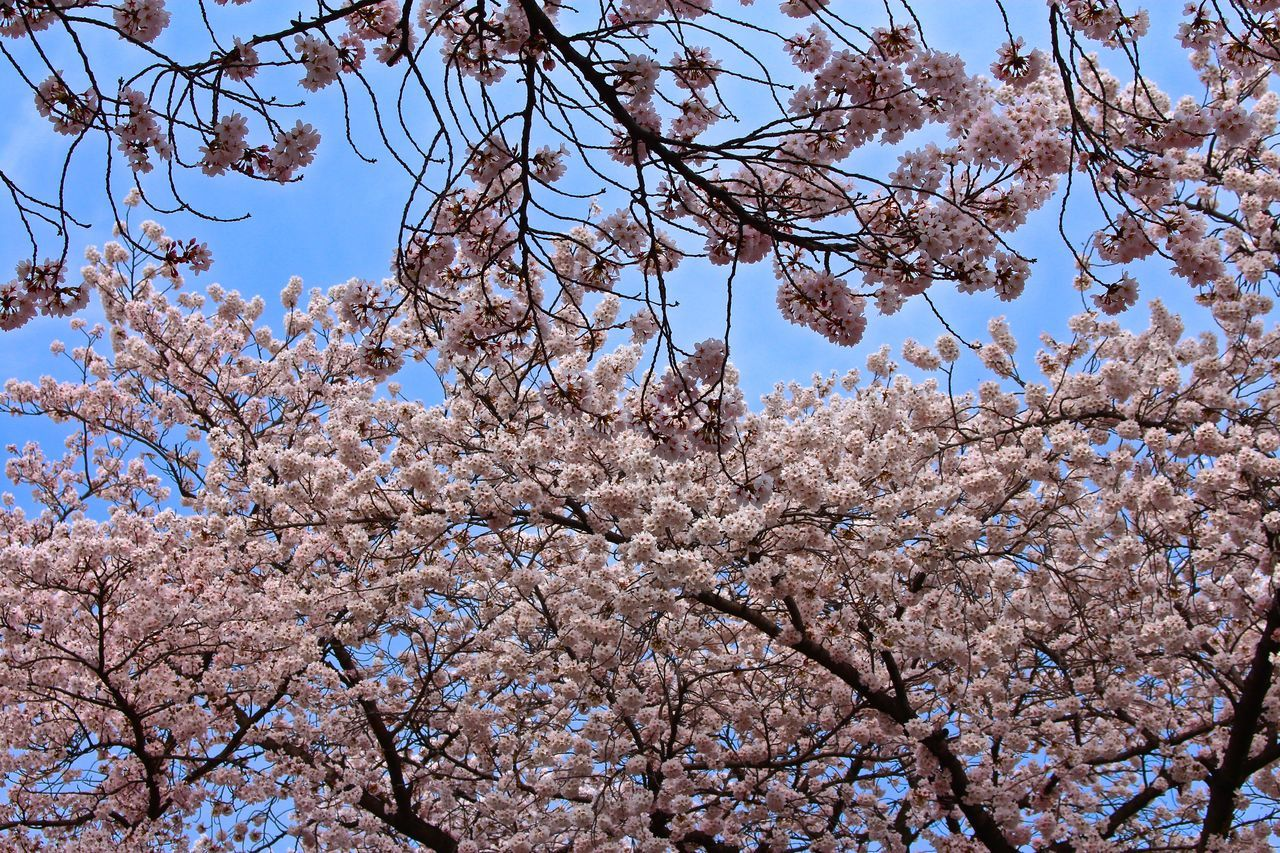 tree, flower, branch, blossom, cherry blossom, low angle view, springtime, beauty in nature, fragility, cherry tree, nature, growth, freshness, almond tree, apple blossom, magnolia, botany, orchard, day, apple tree, no people, white color, outdoors, twig, petal, sky, plum blossom, pink color, clear sky, backgrounds, scenics, flower head, close-up