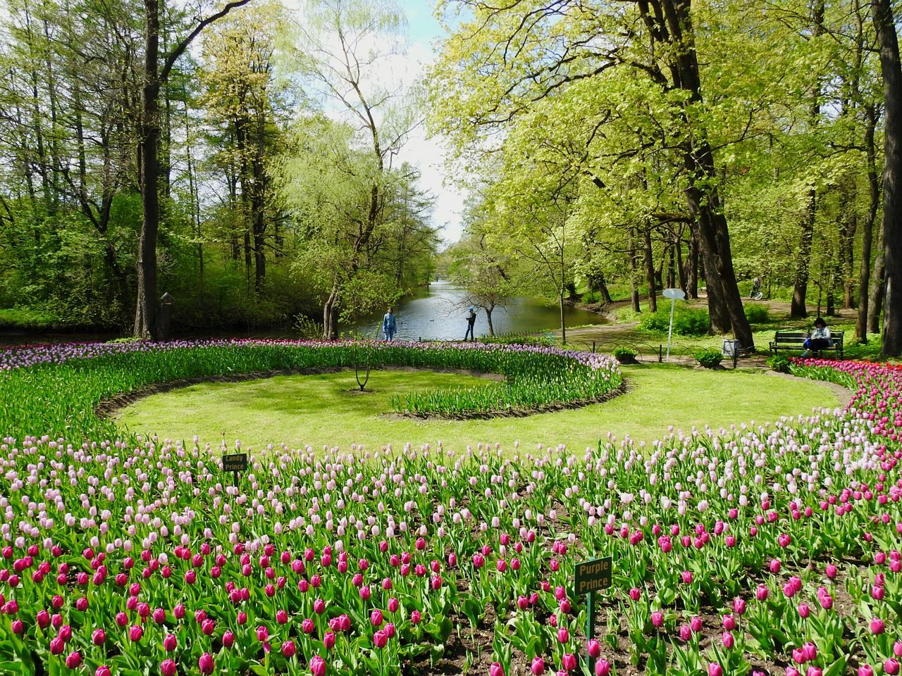Tulips In The Forest The Street Photographer - 2017 EyeEm Awards The Great Outdoors - 2017 EyeEm Awards Flower Festival Of Tulips Flowers Sunny Day 🌞 Tulips🌷 My City View My City My Love Elagin Island Park Streetphotography Colors Of Sankt-Peterburg Springtime Sankt-Petersburg Russia