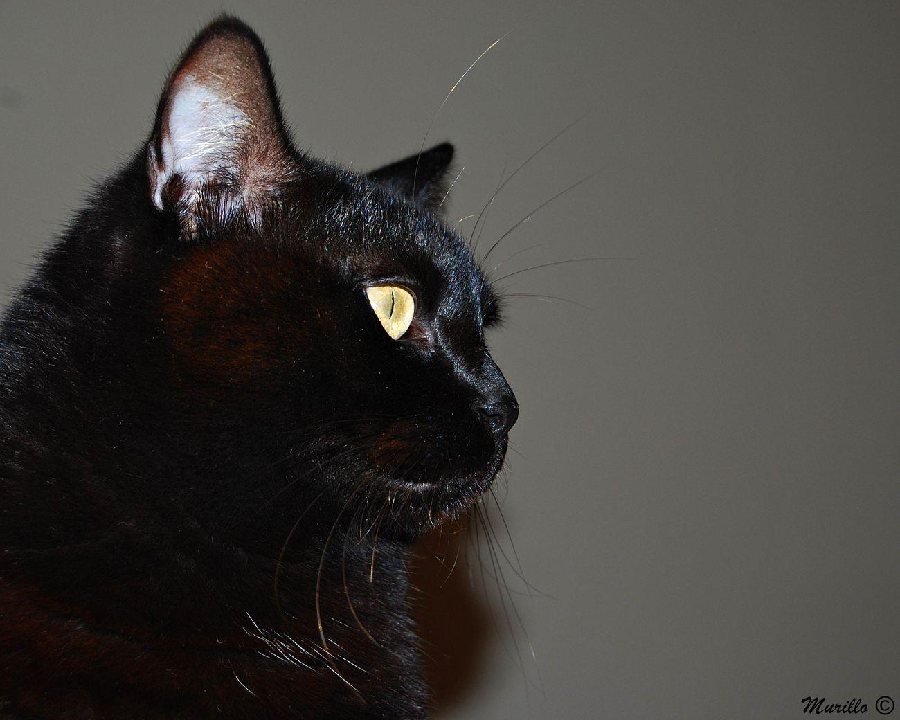 Domestic Cat Feline NikonD60 Nikonphotograhy Catalunya Martorell Animal Photography Nikonespaña Cat Cats Cat♡ Gat Gato Gatos 😍 Cats Of EyeEm Gatos Felinos Felino BLackCat Blackcats Blackcatsofinstagram GatoNegro Cateyes Animal Themes Catphotography