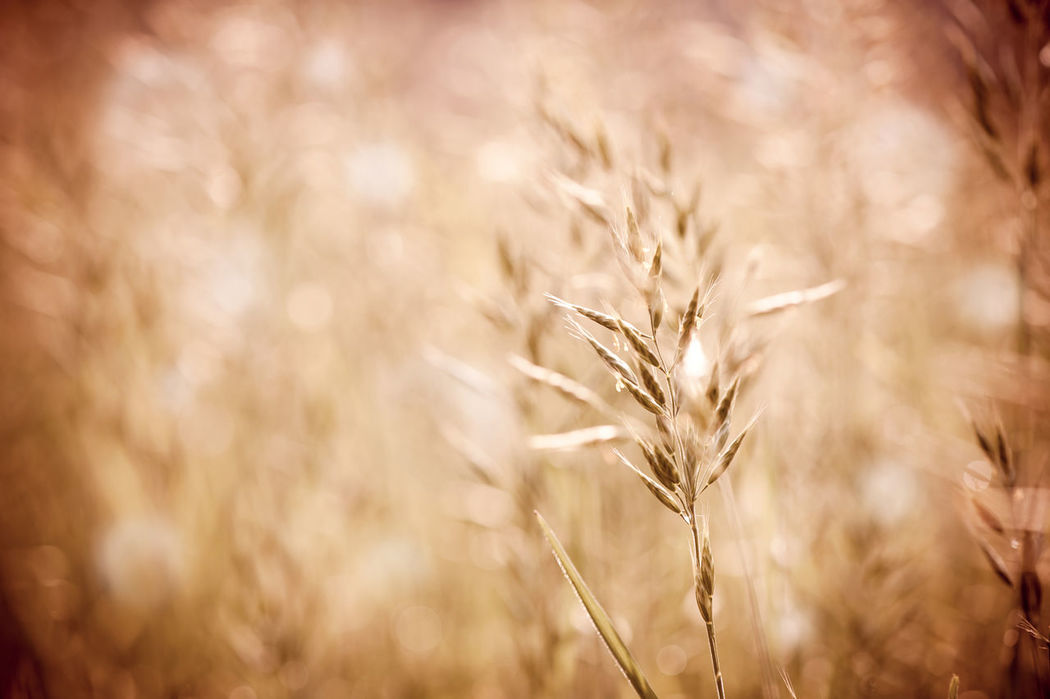 Sepia toned ripe grass inflorescence with pollen which cause allergic reactions in certain people. Yellow pollen and green plant on blurred background, horizontal orientation. Photo taken in Poland, summertime. Autumn Blurred Close-up Field Field Grass Grasses Inflorescence Macro Nature No People Plant Poaceae Ripe Seed Seeds Sepia