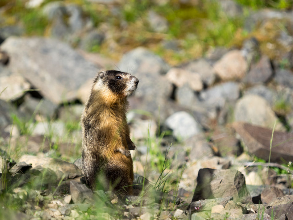 Animal Themes Animal Wildlife Animals In The Wild Close-up Day Mammal Marmot Meerkat Nature No People One Animal Outdoors Rock - Object Rocks