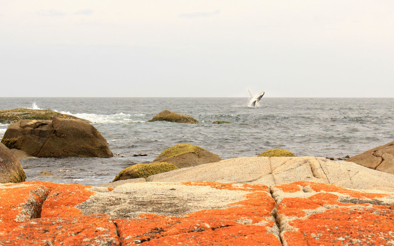 When a whale crashed your picture in Tassie Tasmania Bay Of Fires Photography Whales No People Beach