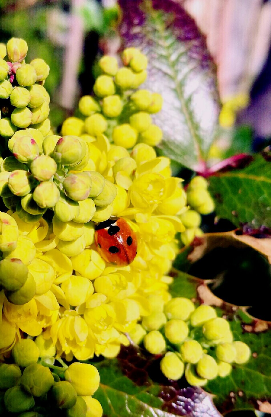 Flower Insect One Animal Nature Beauty In Nature Petal Growth Plant Nature Close-up Animals In The Wild Focus On Foreground Yellow Ladybug Ladybug🐞 Ladybeetle HuaweiP9 Huawei P9 Leica Huaweiphotography HuaweiP9Photography