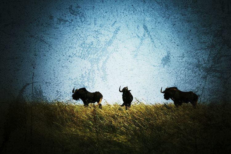 Wildebeest in grassland First Eyeem Photo