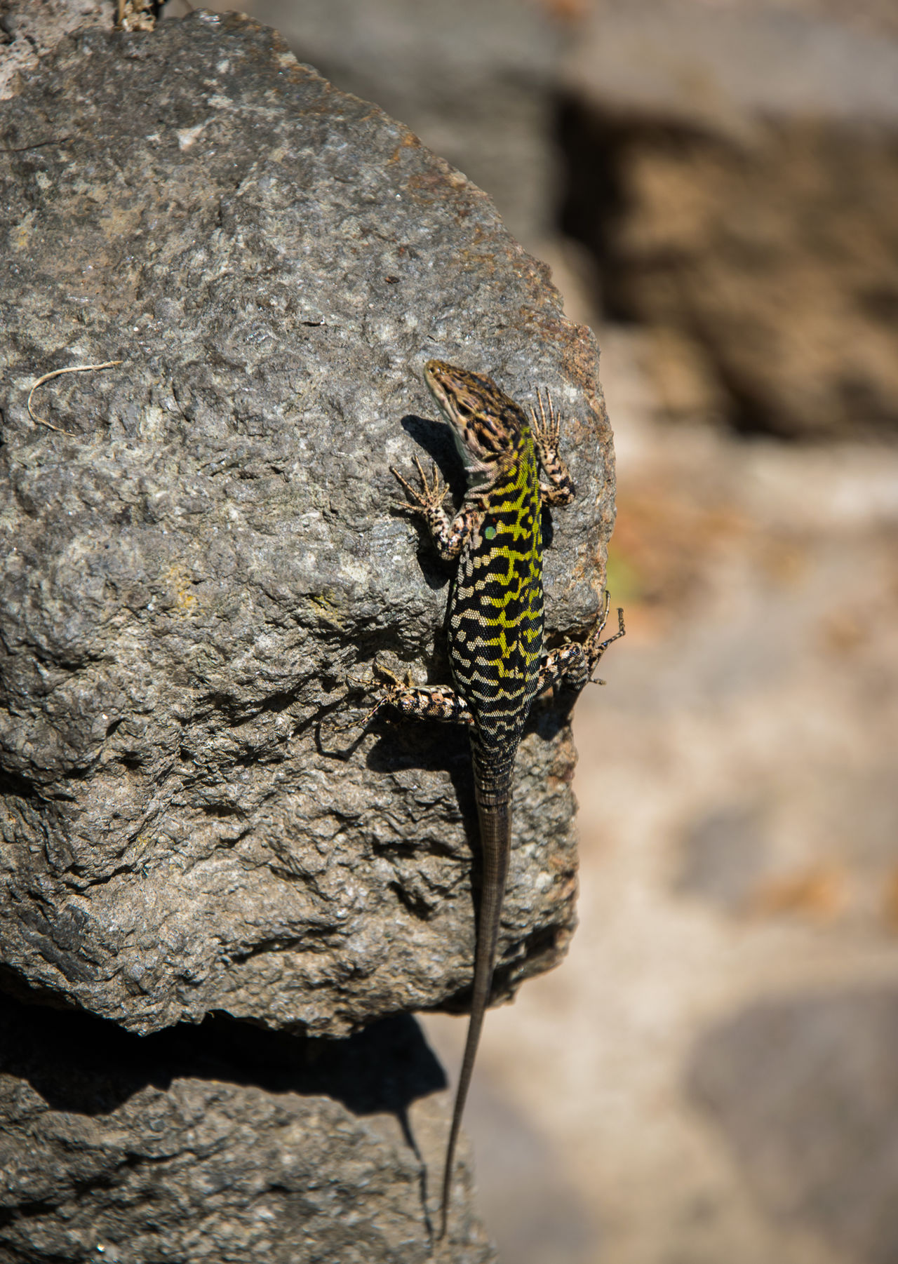 Animal Themes Animal Wildlife Animals In The Wild Close-up Focus On Foreground Gecko Green Color High Angle View Lizard Close Up Lizard Green Lizard Nature Nature One Animal Reptiles