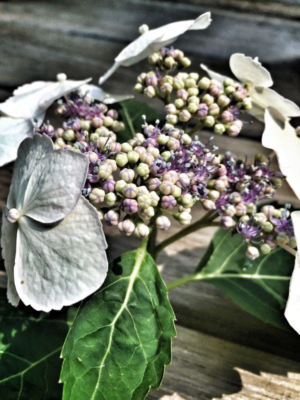 Hydrangea on Deck. Flower Beauty In Nature Fine Art Photography IPhone Only IPhoneography Beauty In Nature Lace Cap Hydrangea