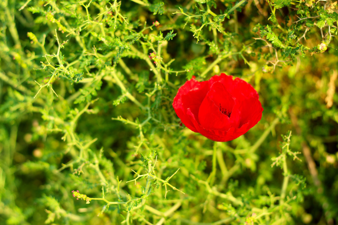 Beauty In Nature Blooming Close Up Close-up Day Flower Flower Head Flowers Focus On Foreground Fragility Freshness Greece Growth In Bloom Lesbos Lesvos Nature No People Outdoors Petal Plant Poppy Red Red And Green Selective Focus