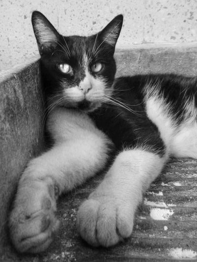 El gato Cats Gato Blackandwhite Pelos