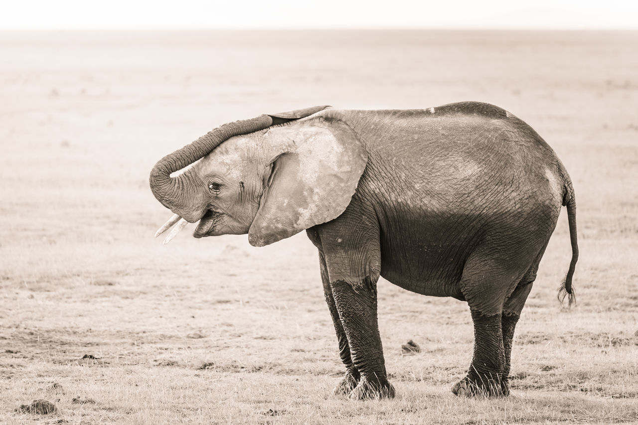 Beautiful stock photos of kunst,  African Elephant,  Animal,  Animal Behavior,  Animal Body Part