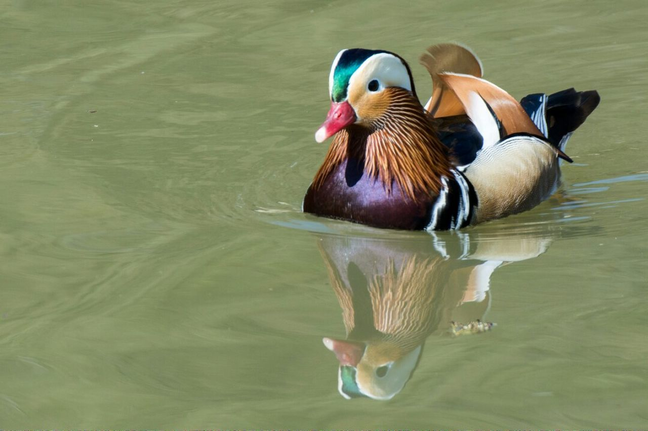 Water Lake Bird Nature Animal Themes Water Bird Mandarin Duck Outdoors No People Nikonphotography Nikon One Animal Duck Animal Photography Reflection Wetland Arundel WetLandsTrust