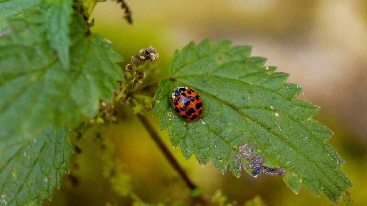 Beautiful stock photos of leaf, Animal Themes, Close-Up, Day, Ladybug