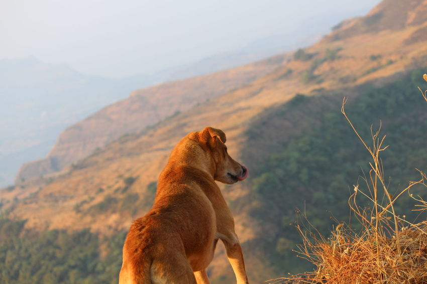 NoEditNoFilter Dog Genteldog Brown Red Orange Shade Mountains Sky Partner On Hiking All The Way With Him Climb Rocks Ropes Railings Highest Peak Kalsubai India Montain And Sky Mountain View One Animal The Secret Spaces Sunlight ☀ Heightbeauty Mountains And Valleys Trekking Indian Mountains EyeEmNewHere
