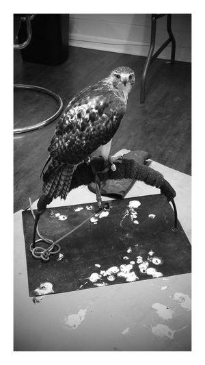 Hunting hawk Bird Indoors  Hawk