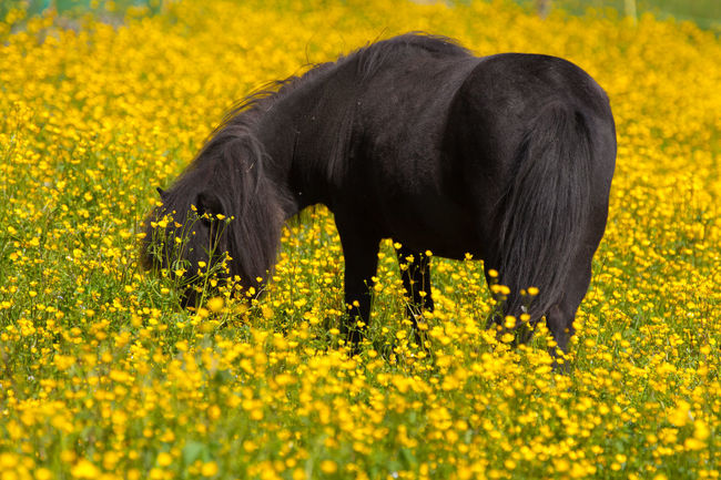 Beauty In Nature Black Pony Blooming Buttercups Crowfoots Dandelion Eating Field First Eyeem Photo Flower Food Porn Fragility Grass Growth Guzzle Horizon Over Water Nature Peace Pony Rural Scene Tranquility Yellow The Essence Of Summer- 2016 EyeEm Awards Colour Of Life