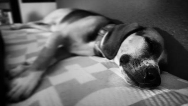 Doglife Beagle Sleeping Dog Relax Sleeping EyeEm Best Edits Blackandwhite Black And White Photography Animals Beagle Love Animal Photography Beaglelovers Beagleoftheday EyeEm Best Shots Dog Love Dog