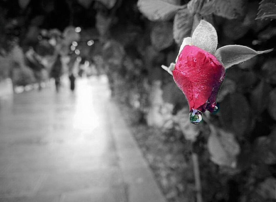 Rose 🌷 Flower Rose - Flower Rosé Nature Mustseeiran Isfahan
