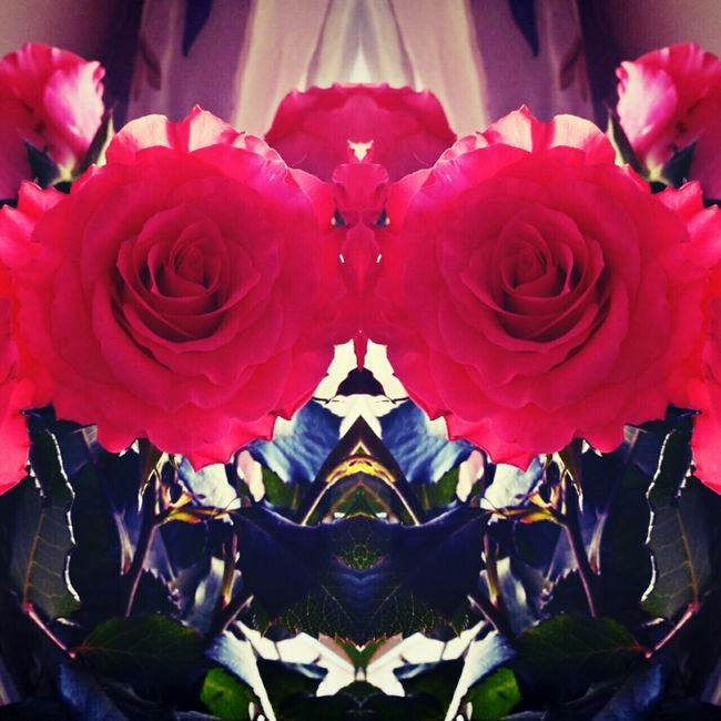 Mirrored Roses :) Roses Flowers Pink Rose Mirrored