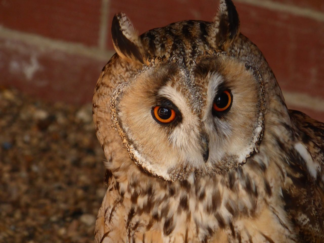 The OO Mission Owl Woodhurst The Raptor Foundation Cambridgeshire Owl Eyes Long Eared Owl Motus Natura