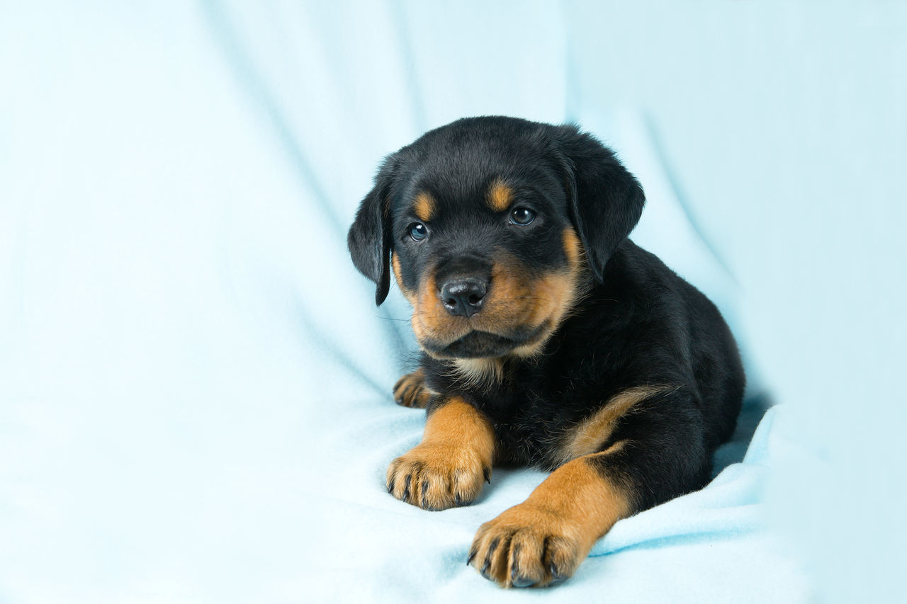 Beautiful stock photos of rottweiler,  Black Color,  Close-Up,  Curtain,  Dog