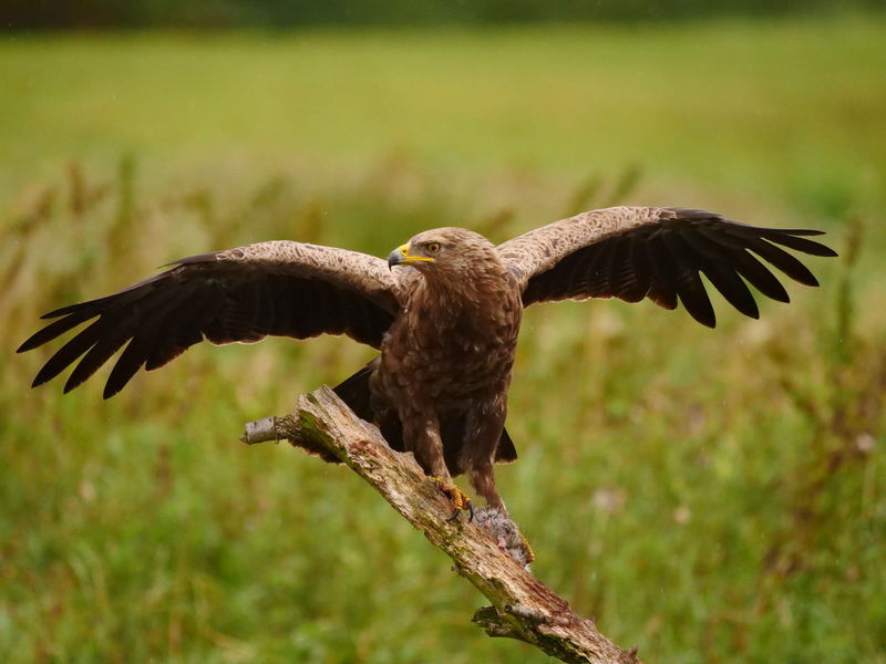 A female lesser spotted eagle with a rat in her clutches. Beautiful Nature Bird Photography Eagle Mecklenburg-Vorpommern Raptor Animal Photography Animal Themes Animal Wildlife Animals In The Wild Bald Eagle Beauty In Nature Beauty Of Nature Bird Bird Of Prey Birds Close-up Eagle - Bird Eagles Lesser Spotted Eagle Nature Outdoors Predator Schreiadler Spread Wings Wilderness