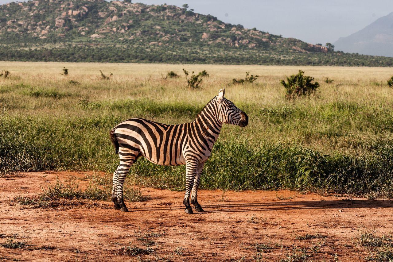 Beautiful stock photos of zebra, Animal Markings, Animal Themes, Animal Wildlife, Animals In The Wild