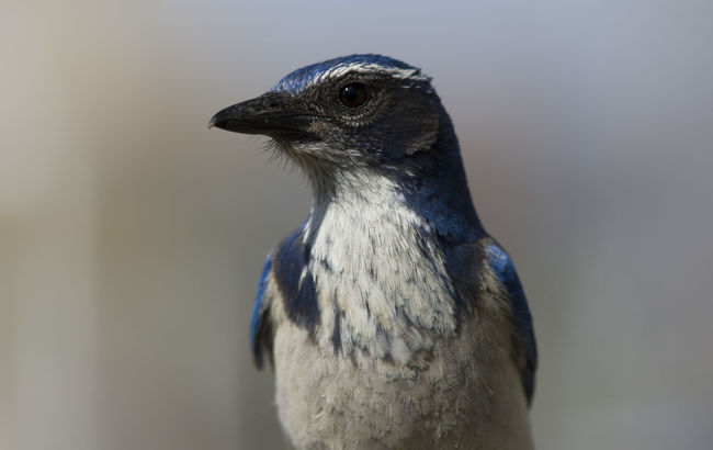 Animal Animal Body Part Animal Eye Animal Head  Animal Themes Avian Beak Beauty In Nature Bird Bird Of Prey Black Color Close-up Day Feather  Focus On Foreground Looking Away Nature No People Outdoors Portrait Selective Focus Western Scrub Jay Wildlife
