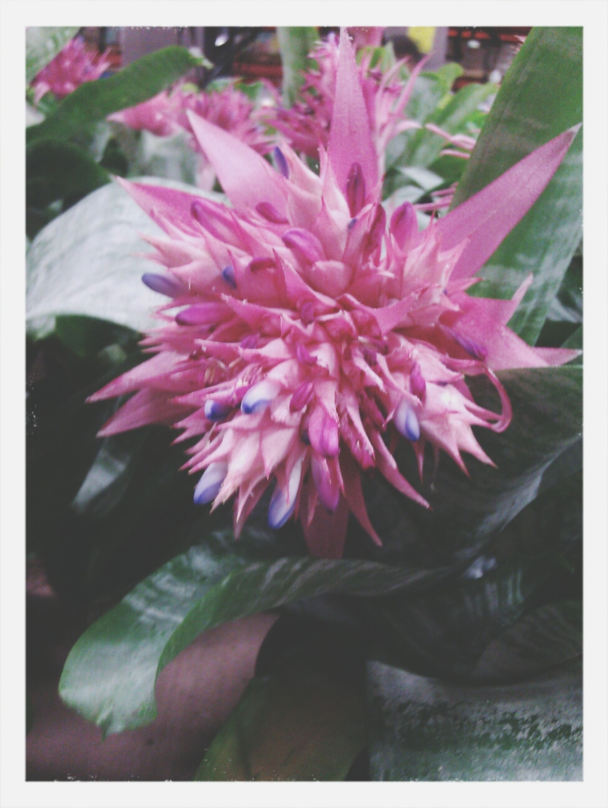 flower, transfer print, petal, freshness, fragility, flower head, growth, beauty in nature, auto post production filter, pink color, close-up, nature, blooming, plant, focus on foreground, single flower, in bloom, pink, leaf, selective focus