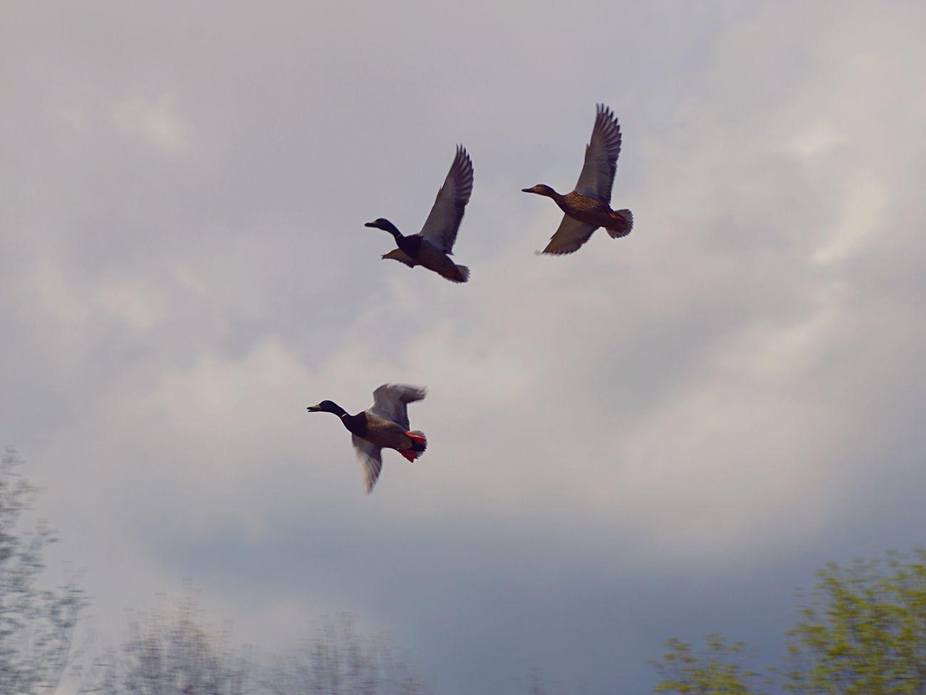 The circling Ducks Flying Ducks EyeEm Birds Birds Mallard EyeEm Nature Lover Nature Marshes Pond Park