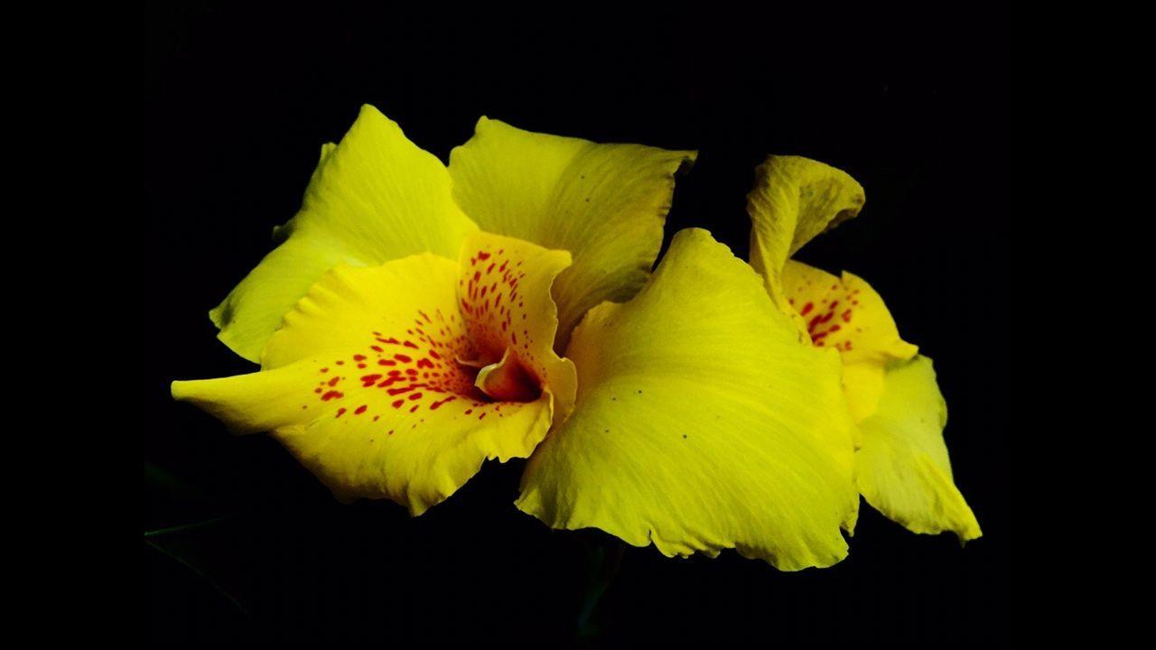 华农 湖亭花 Lady Flower