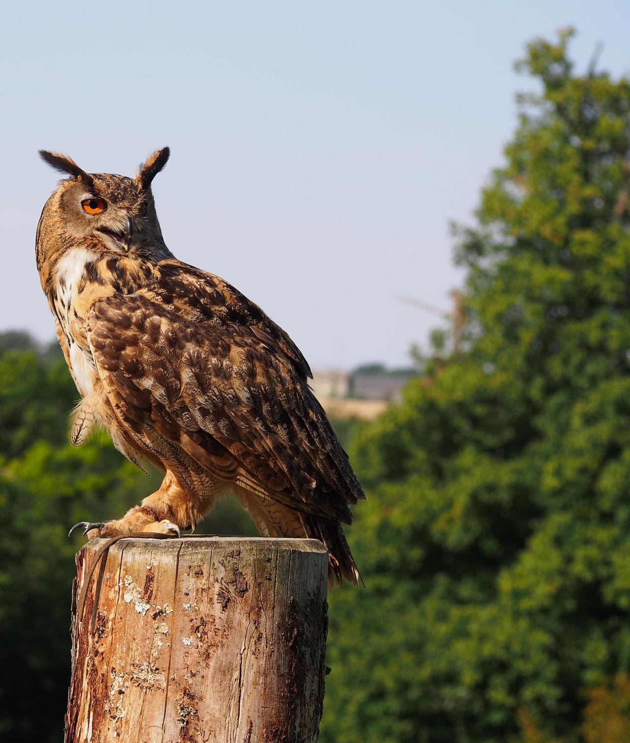Beauty In Nature Bird In Captivity Bird Of Prey Nature Show Tawny Tawny Owl Wildlife