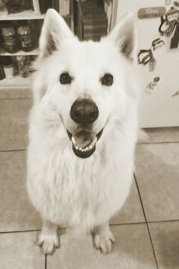 Berger Blanc Suisse Dog Pets One Animal Looking At Camera Portrait Domestic Animals Animal Themes Mammal No People Indoors  Sticking Out Tongue Close-up Day