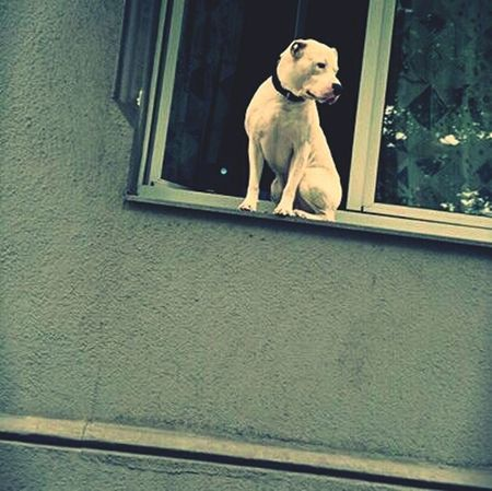Dog Sitting Window