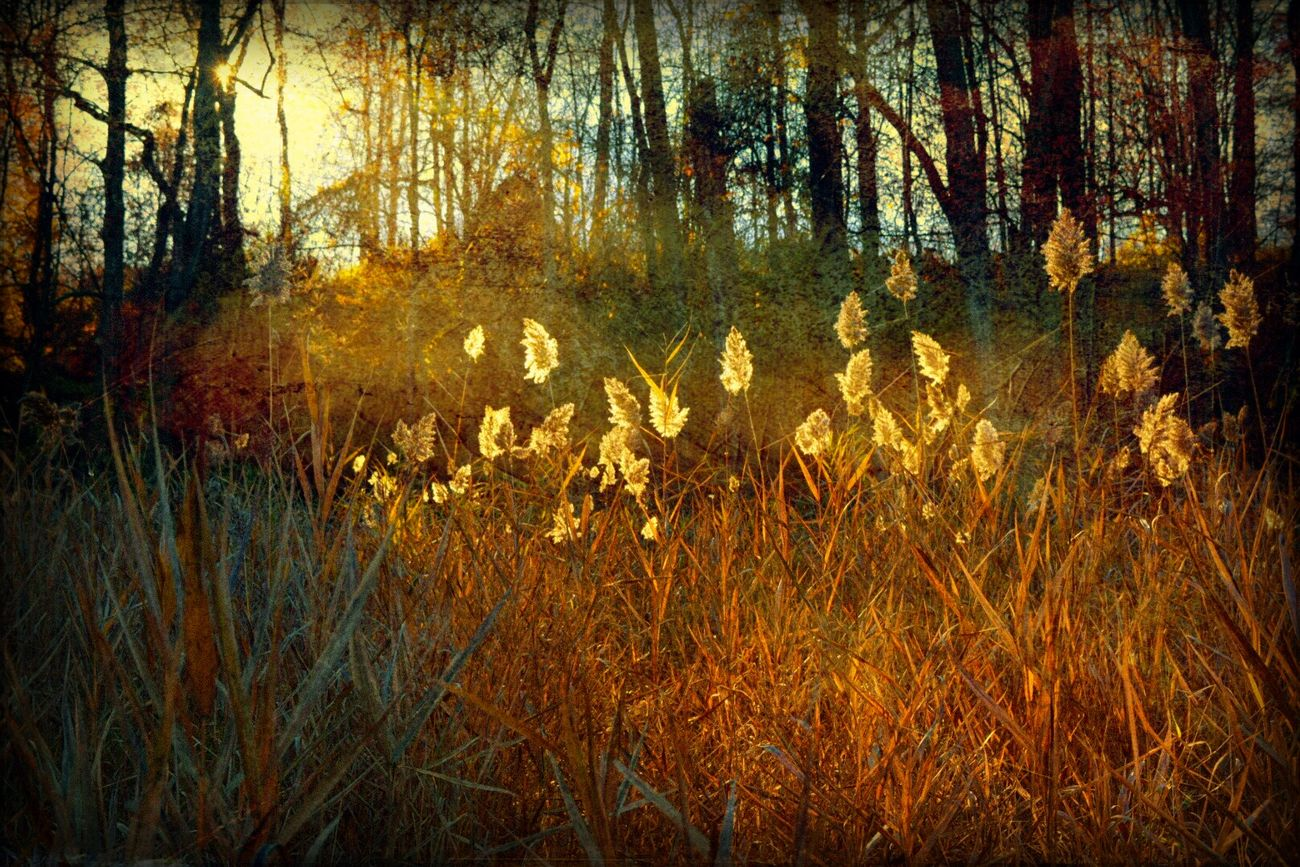 Fading Light Sunset_collection DistressedFX Artistry_flair Greenwich, CT Trees Autumn Shadows & Lights Reeds Nature Sunset