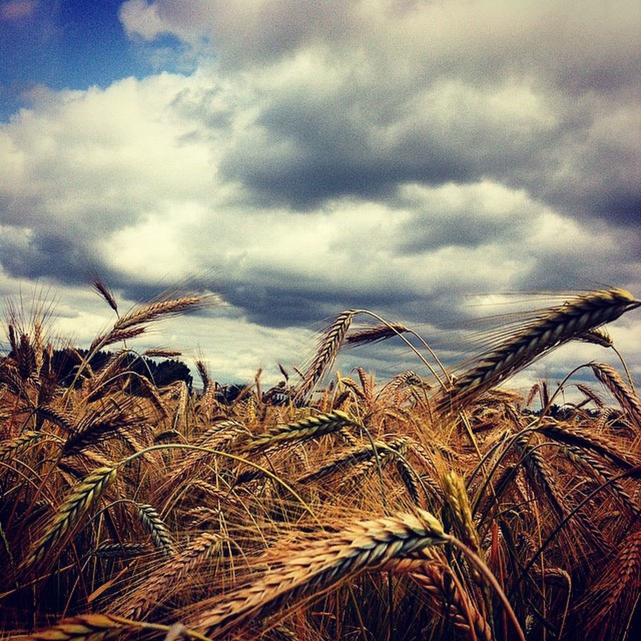 Beautiful Landscape Hungary Homesweethome Kunágota ilovesummer ihu insta_kunágota instahun ig_europe ikozosseg instadaily instaphoto wheat mik magyarig mademyday mik_summer missthisview colors sky skyporn cloud cloudporn loves_hungary 🎑 ig_magyarország