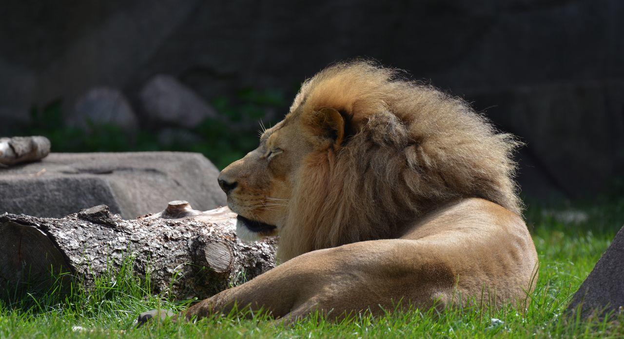 Animal Hakuna Matata King Of The Jungle Lion Lion King  Milwaukee Zoo Simba Sleeping Zoology