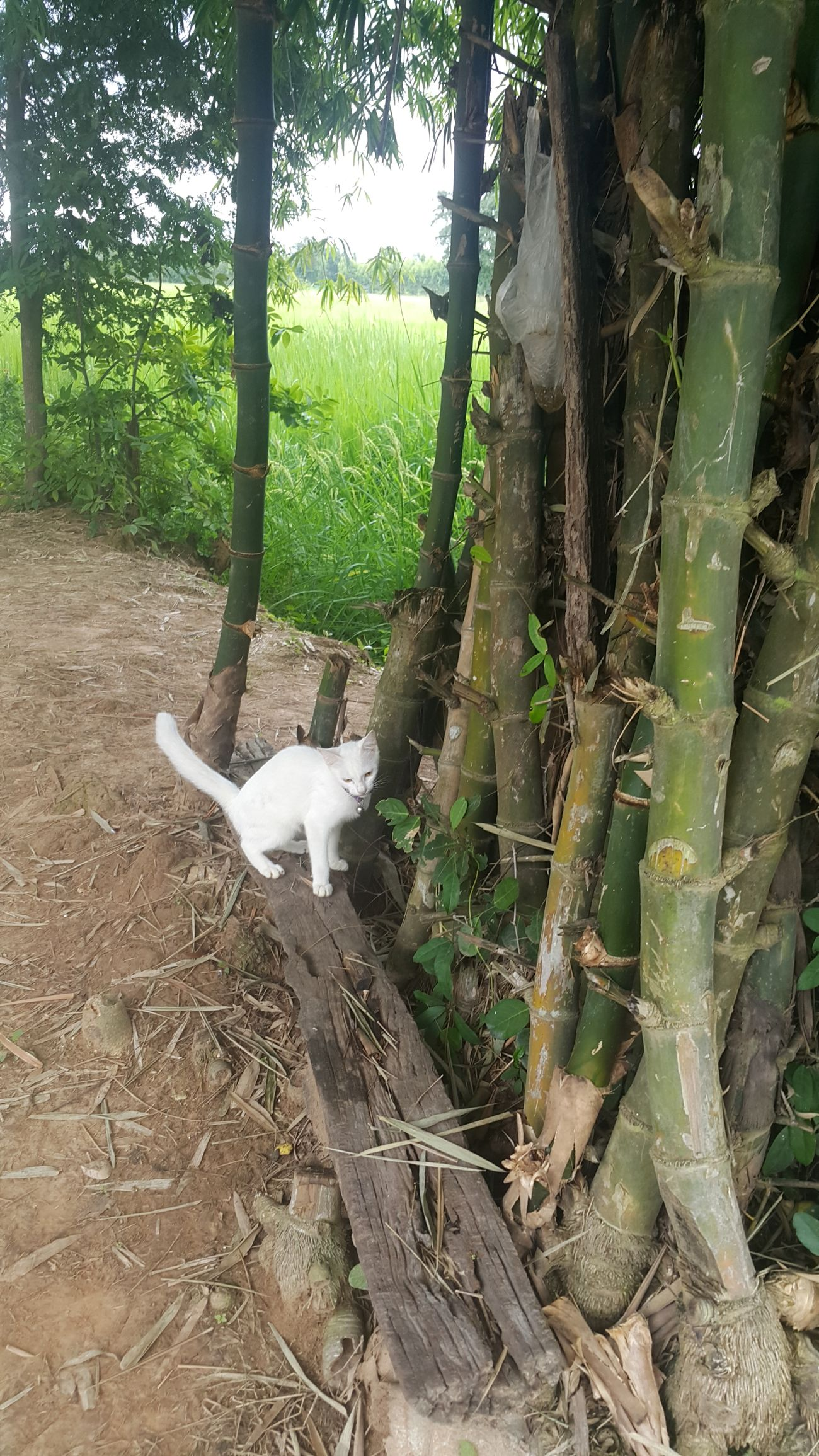 Nature Bamboo Animal Themes Beauty In Nature Nature Coutryside Country Life Countryside Landscape Rice Field Nature_collection Cats Of EyeEm Countryhome Nature_ Collection  White Cat My Cats Cat