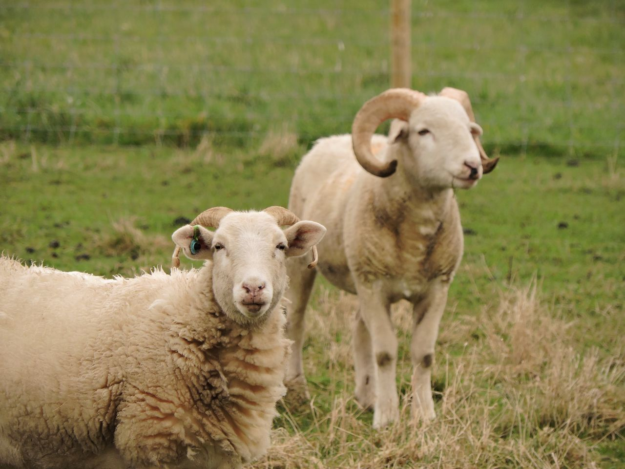 Animal Animal Family Animal Themes Close-up Day Field Focus On Foreground Focus On Foreground,shallow Focus Grass Grassy Horned Landscape Mammal Nature No People Outdoors Portrait Rams Sheep Wiltshire Horns Young Animal
