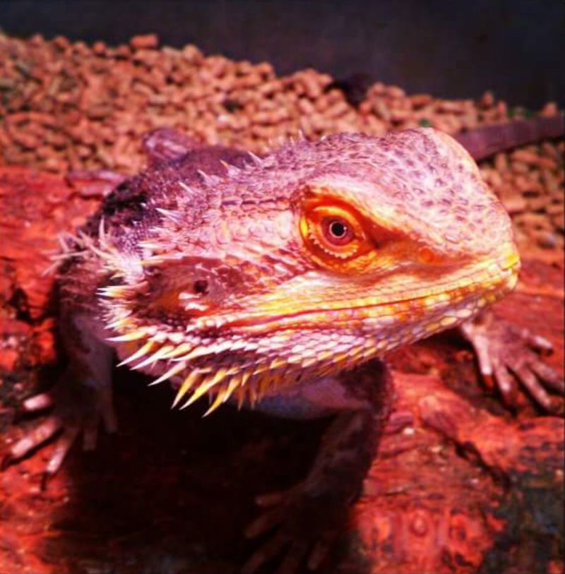 Taking Photos Adolescent Indoors  No People, Color Photography Nature Beautiful Nature Colorful Reptile Posing For The Camera My Boy Lizard Reptile Bearded Dragon Grumpy Face Pet Photography  Color Palette Maximum Closeness