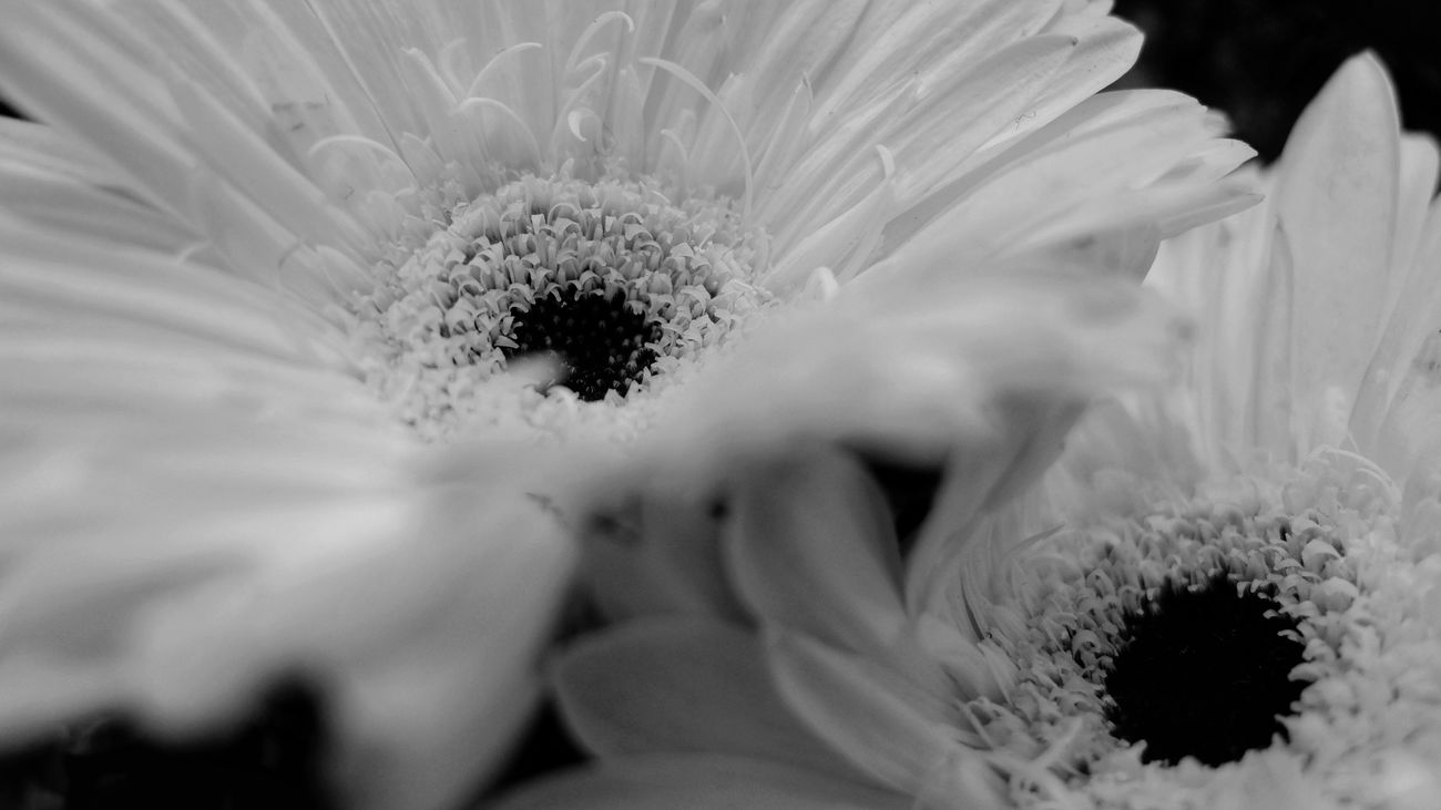 Allure. Flower Fragility Nature Close-up Beauty In Nature Flower Head Growth Day Outdoors Freshness Depht Of Field Blurred Foreground Black And White Photography