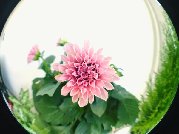 Flower Freshness Petal Flower Head No People Pink Color Close-up Plant Nature Beauty In Nature Fragility Growth Day Fish-eye Lens Indoors  Peony