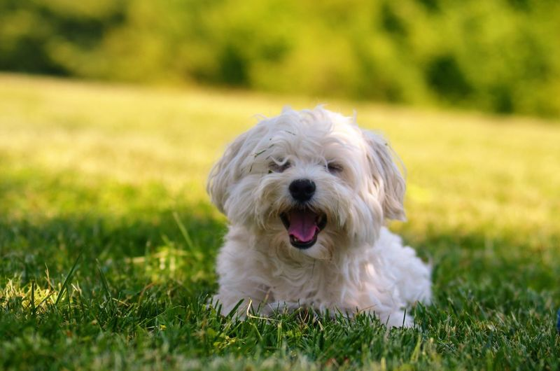 My love ❤️🐶 Grass Pets Dog One Animal Domestic Animals Animal Themes Mammal Sticking Out Tongue Portrait Outdoors No People Day Nature West Highland White Terrier Close-up Pet Portraits