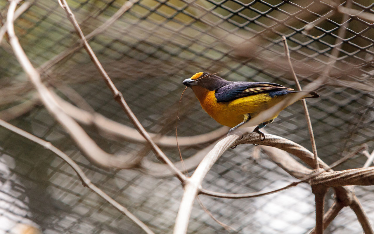 Male yellow and blue Violaceous Euphonia also called Euphonia violacea is a bird found in Brazil Animal Themes Animal Wildlife Animals In The Wild Avian Beauty In Nature Bird Blue Close-up Day Euphonia Violacea Nature No People One Animal Outdoors Perching Violaceous Euphonia Wild Bird Wildbird Yellow